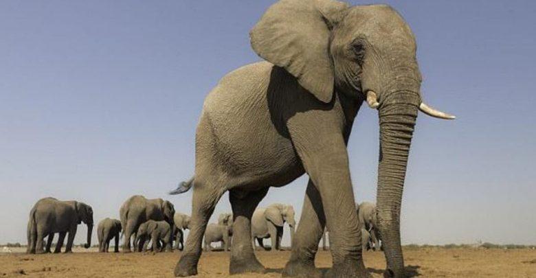 تفسير رؤية الفيل في المنام - ويكيات