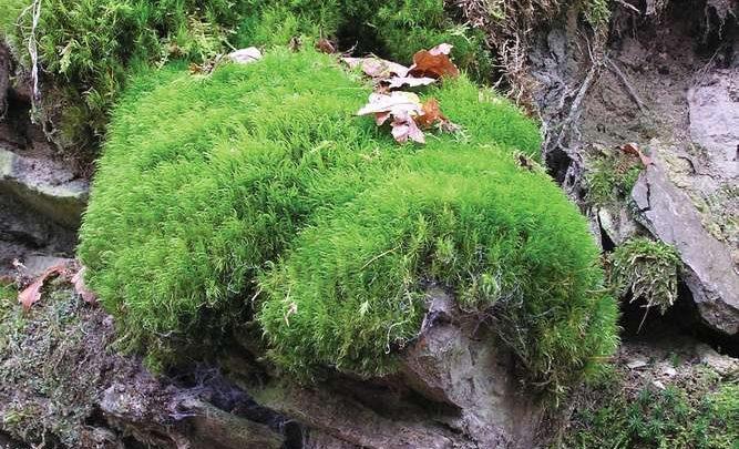 نباتات حزازية