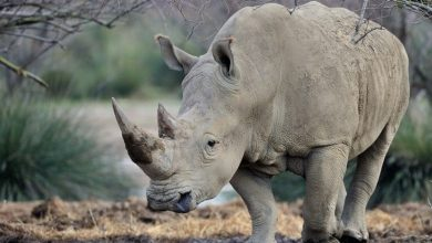 اسباب انقراض وحيد القرن