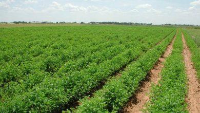 أشهر المحاصيل الزراعية في الاحساء