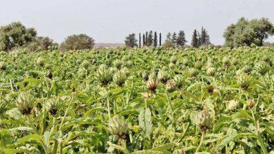 اهم المحاصيل الزراعية في الجوف