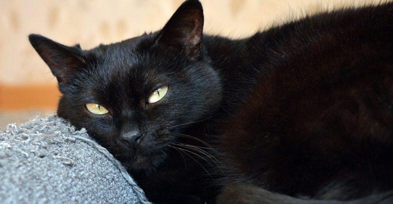 القط الأسود في المنام ويكيات