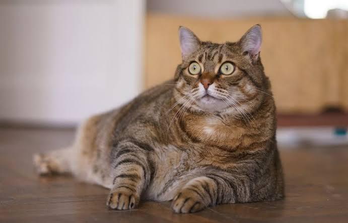 هذه مدة حمل القطط وكل ما تحتاجه القطط أثناء الحمل عشاق القطط حول العالم